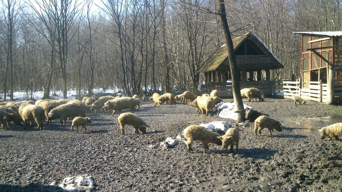 Turopoljska svinja na HRT-u i MrežiTV