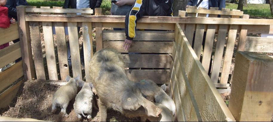 Potpore Grada za uzgajivače turopoljske svinje