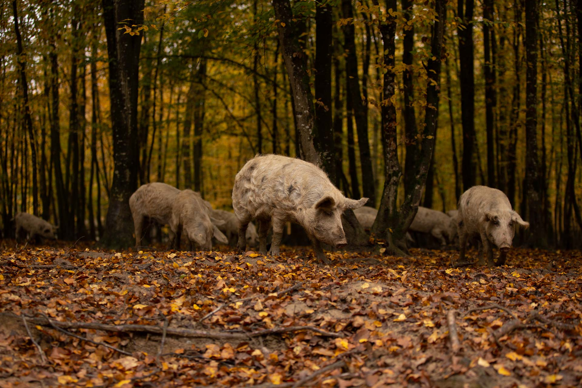 Korak bliže Oznaci izvornosti za meso turopoljske svinje
